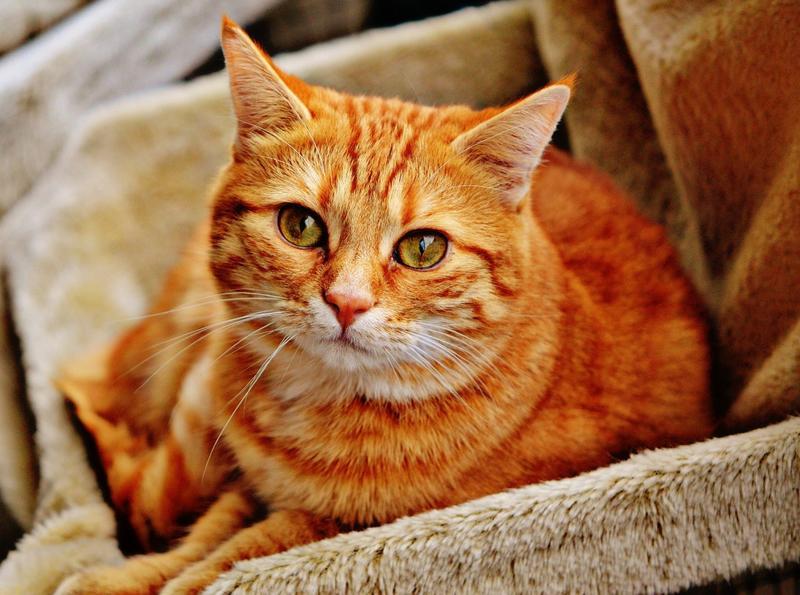 Estrategia contra las bolas de pelo del gato